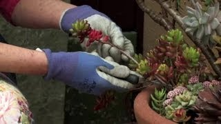 How to Get a Clipping of Sedum : Gardening & Flowers