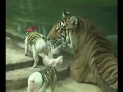 Hổ nuôi lợn, lợn nuôi hổ - PhuongSon.info