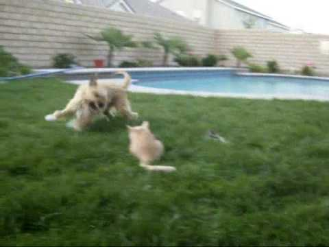 Dog running circles around Cat Funny