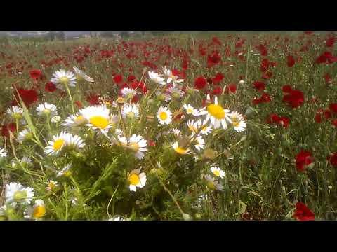 Gelincik çiçeği otunun faydaları papatya bitkisinin faydaları çayının yararları nelerdir