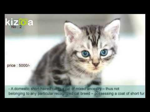 Top six cat breeds in India | Cat for sale in Dehradun | Kittens for sale,