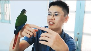✅ Green Cheeked Conure _ Những điều nên biết trước khi nuôi vẹt green check