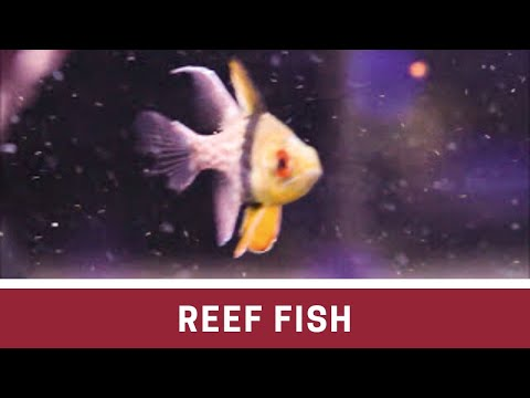 Fish At Elite Reef | Clownfish, Yellow Tang, Queen Angel, Diamond Goby, Firefish