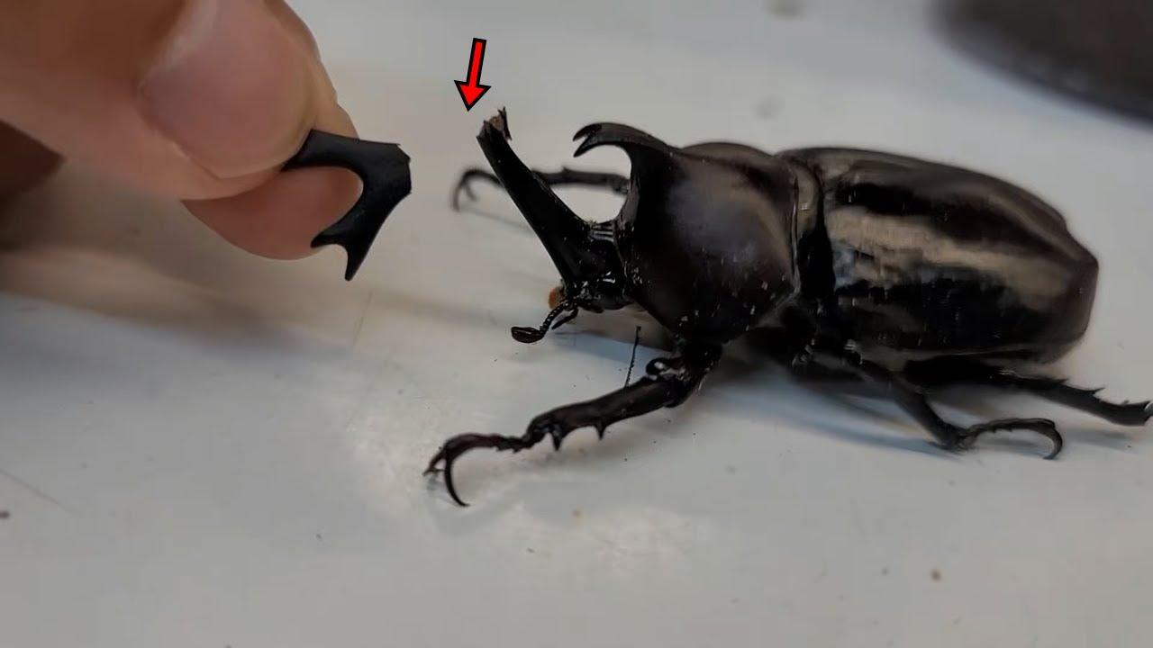 장수풍뎅이 부러진 뿔 만들어주기 Make a broken horn for the rhinoceros beetle
