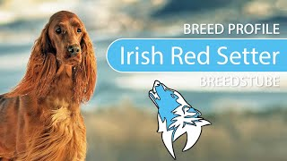 Irish Red Setter Breed, Temperament & Training