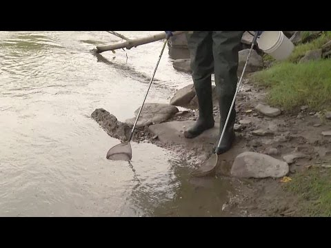 Searching For Invasive Sea Lamprey In WNY