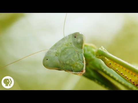 Praying Mantis Love Is Waaay Weirder Than You Think | Deep Look