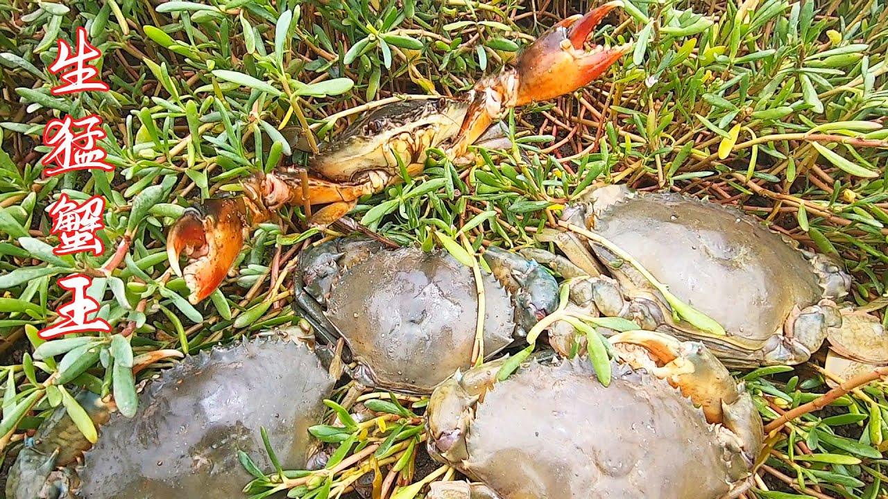 """赶海误抓了蟹群""""老大"""",高高举起一双巨钳,其他螃蟹全都不敢动"""
