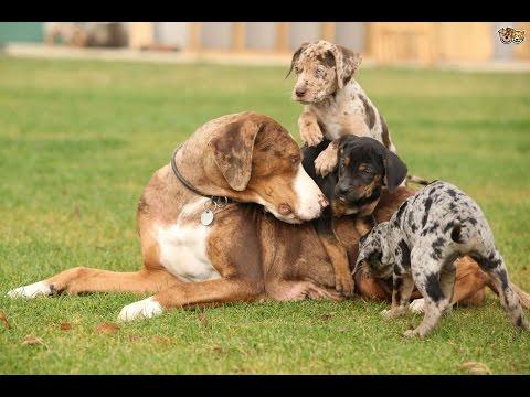 Порода собак. Леопардовая собака Катахулы