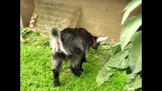Bébé chèvre naine