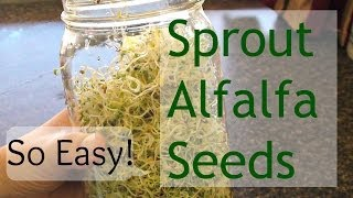 How To Grow Sprouts (How To Grow Alfalfa Sprouts)