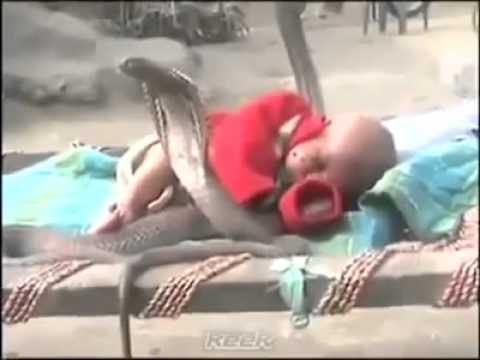 Cận cảnh 4 rắn hổ mang chúa canh em bé ngủ