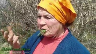 Пырей - целебные и пищевые свойства корней и травы