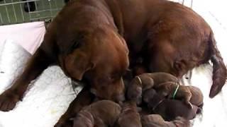 生まれて数時間のチョコのラブラドールの子犬達ですU^ェ^U http://www.d...