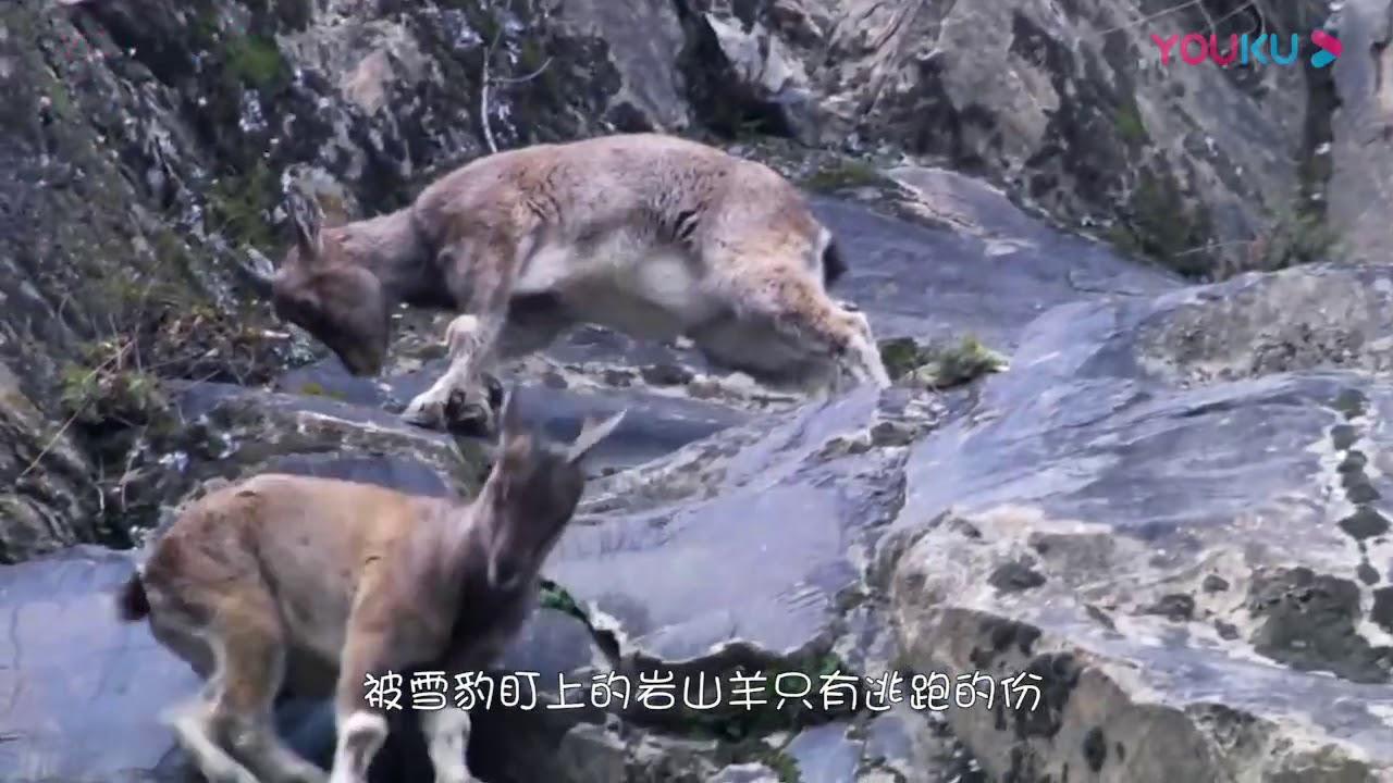 高山之王捕食岩山羊,臨死之際一個絕招,下秒意外發生!