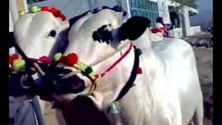 Oh No. Bull is Full - Amazing