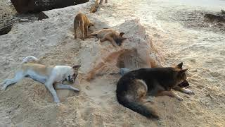 Dogs Playing On The Sand - Dogs Videos - Funny Dogs - Dogs - Dogs 2020