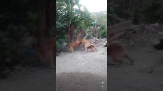 Dog fight 2
