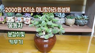 2000원다이소 미니항아리화분에 웅동자분갈이및 키우는방법~!!Succulent