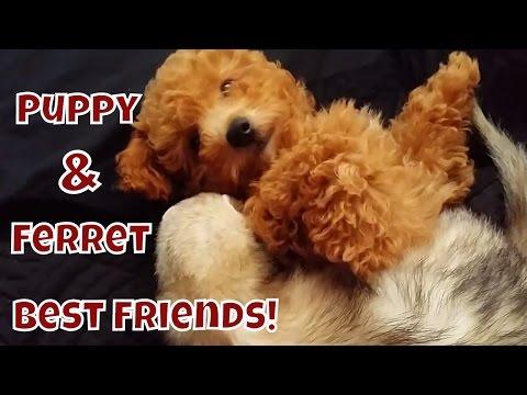 Puppy & Ferret Best Friends - Cute Animals Inside 3 - VOL. 33