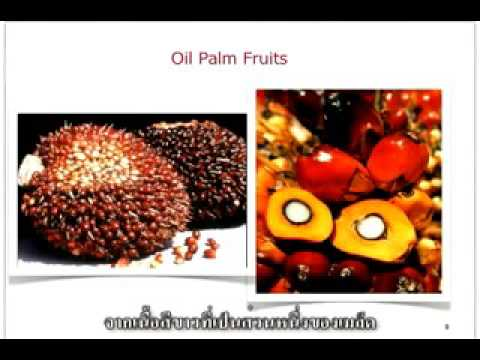 extraction of palm oil (Thai)