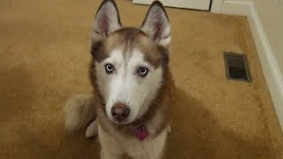 Who could say no to this Husky face!?
