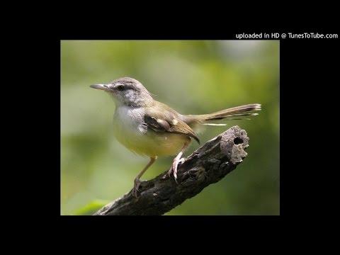 Download Suara Kicau Burung Ciblek Kebun 1