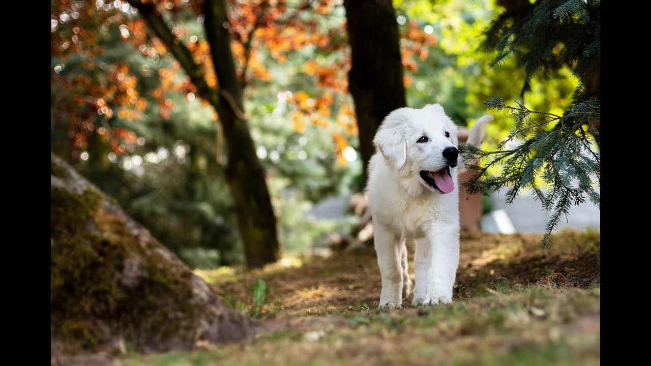 Relaxing music,Puppy  stress relief, cute puppies, Meditation music soothing music for meditation