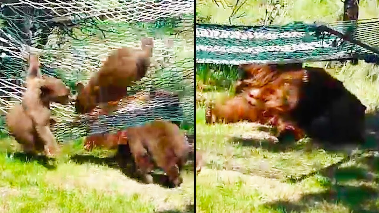 Ozzy Man Reviews: Bears vs Hammock