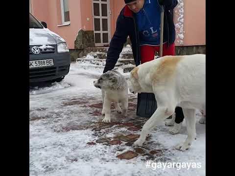Aladzha &puppies 😊alabai puppies Central Asian Shepherd Dog