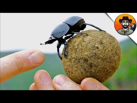 Вопрос: Какие органы чувств есть у навозного жука?