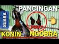Pancingan Untuk Konin Bahan Cepat Ngobra Suara Pikat Kolibri Ninja  Mp3 - Mp4 Download