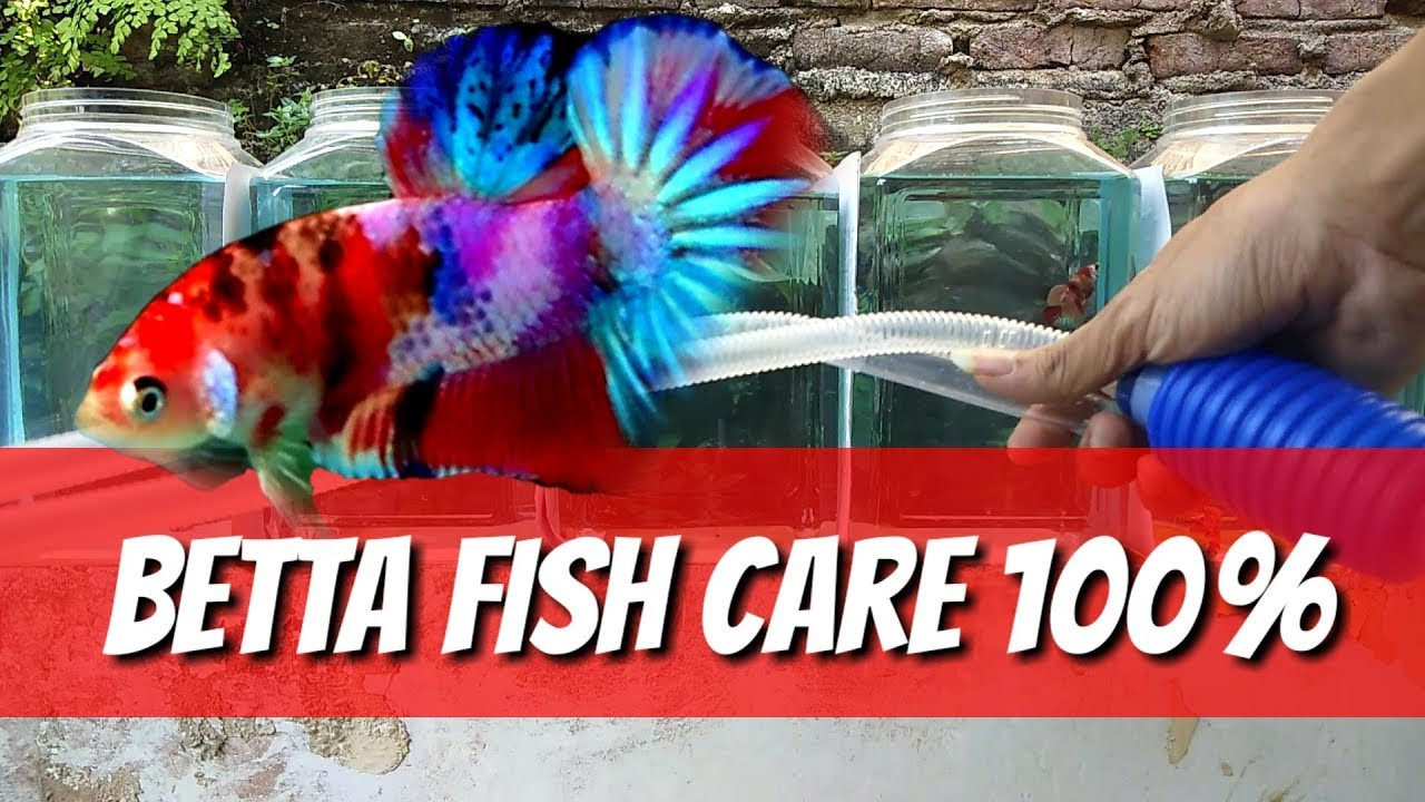 Betta Fish Care Siphon Water by Bettas Indonesia