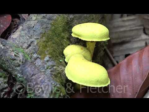 Yellow toadstools, Taman Negara, Malaysia. 20170720_121446.m2ts