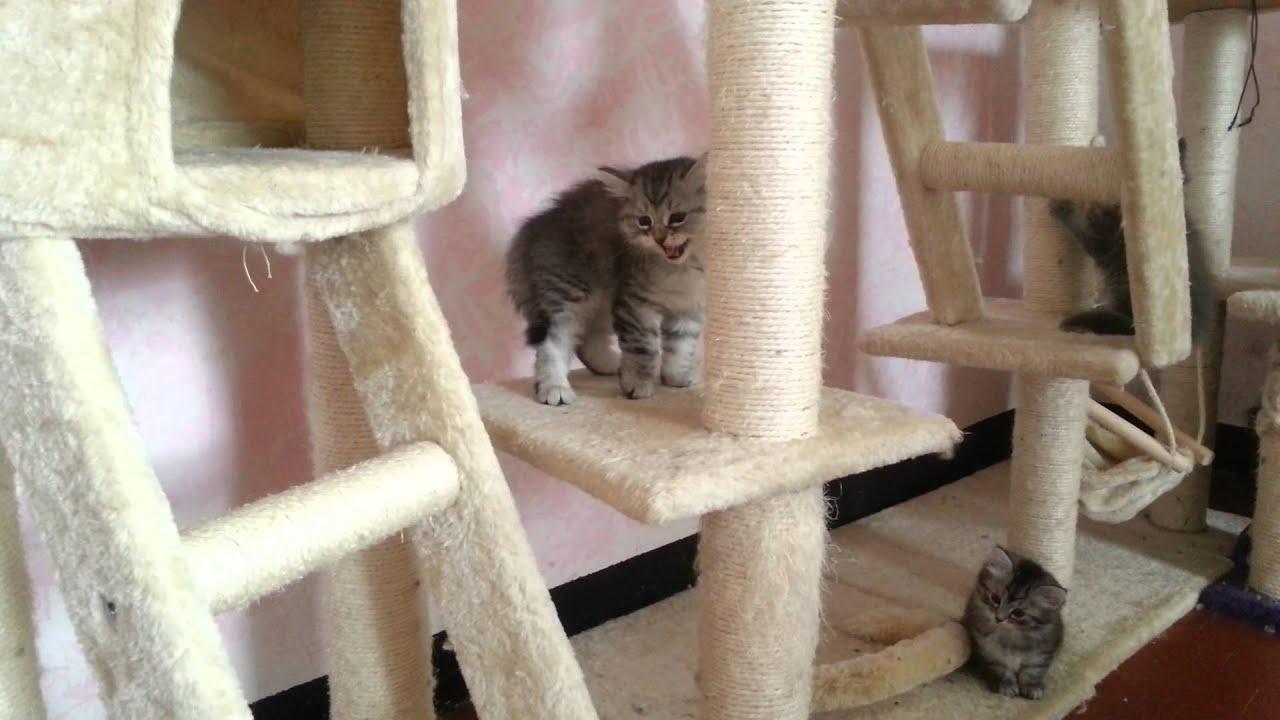 Il tiragraffi e i cuccioli di gatto siberiano - YouTube