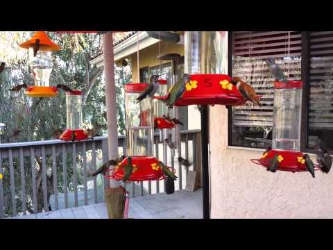 Hummingbird Frenzy