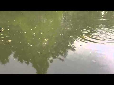 Beautiful carp in Cambridge lake