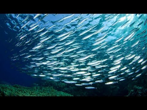 Smaller Forage Fish Should Stay Fish Food, Say Experts