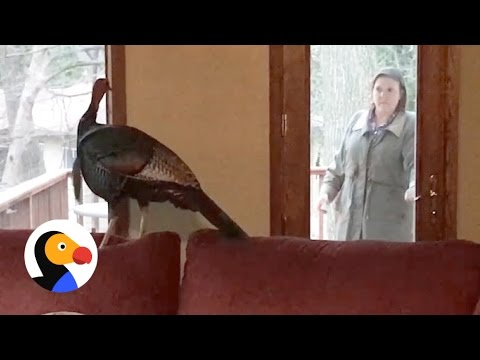 Wild Turkey Refuses to Leave Home, Poses for Police Photos  | The Dodo