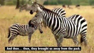 Тайк. Последнее представление. (Реальная история)(Видео, основанное на реальных событиях. Трагическая история побега Тайк из цирка. Жестокая действительност..., 2016-01-31T01:46:15.000Z)