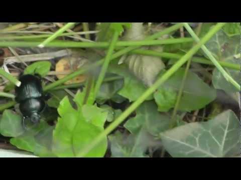 Sun Beetle (No Audio)