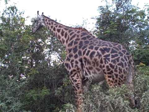 Giraffe Close up at Arusha National Park