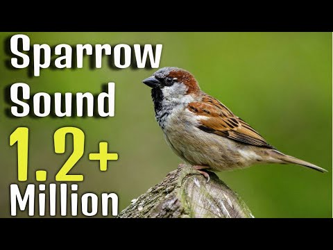 Sparrow Sound Effect