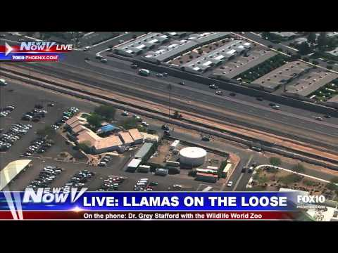 Llamas on the loose in Sun City