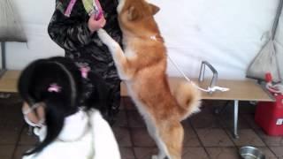 5月4日大館駅での秋田犬とのふれあい!悪天候でしたが多くのお客様と...