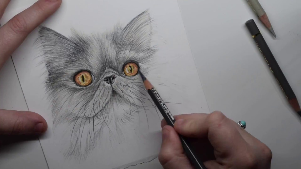 Grey persian cat coloured pencils drawing time lapse