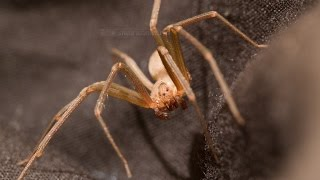 Brown Recluse Spider: Extreme Close-Ups II (Warning: Scary!)