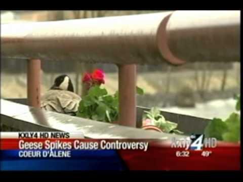 University of Idaho Coeur d'Alene removing goose spikes