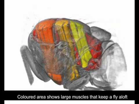 X-ray movie shows how fly beats its wings