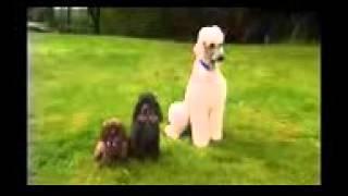 Пудель, все породы собак, 101 dogs. Введение в собаковедение.